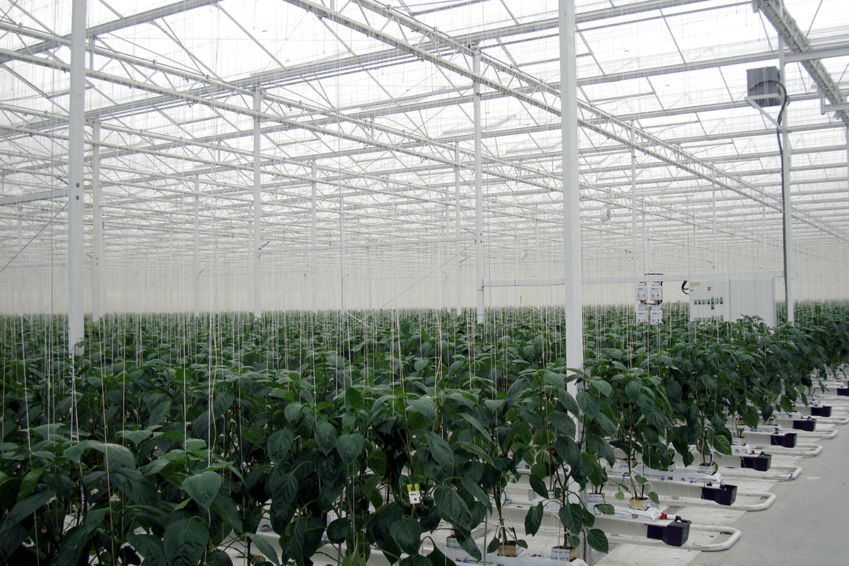 Pepper Greenhouse Projects Prins Usa