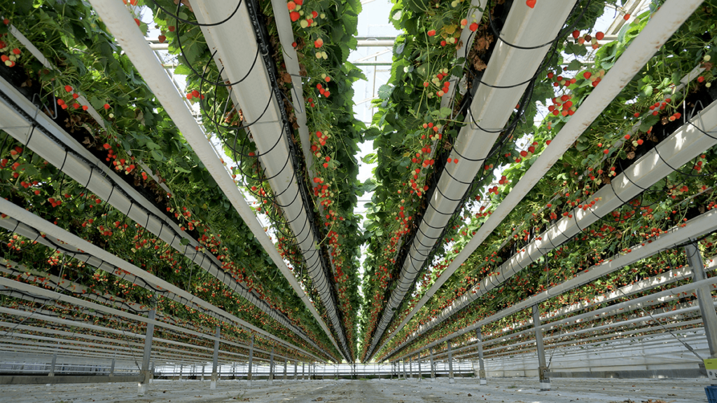 Strawberry Greenhouse Projects Prins Usa